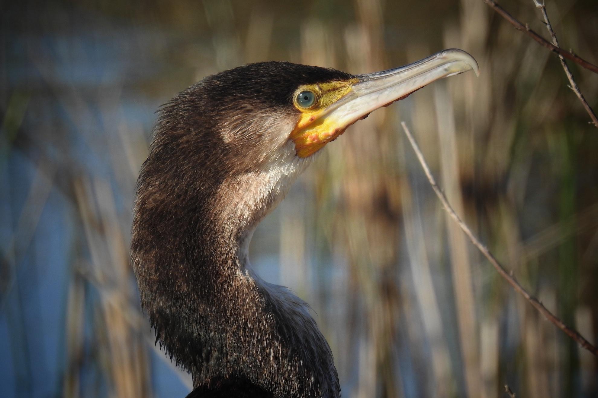 Il profilo di un cormorano | Ph. Raffaele Imondi - Trentaremi